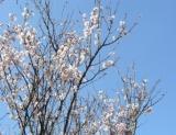 咲き始めの桜2.JPG