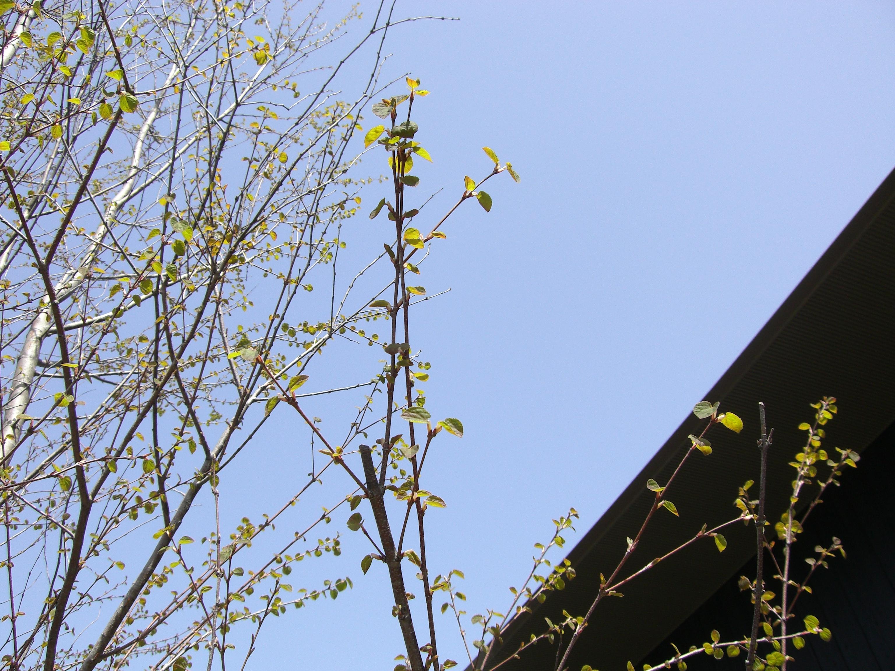 桂の葉.JPG