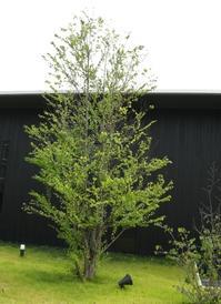 桂の木.JPG